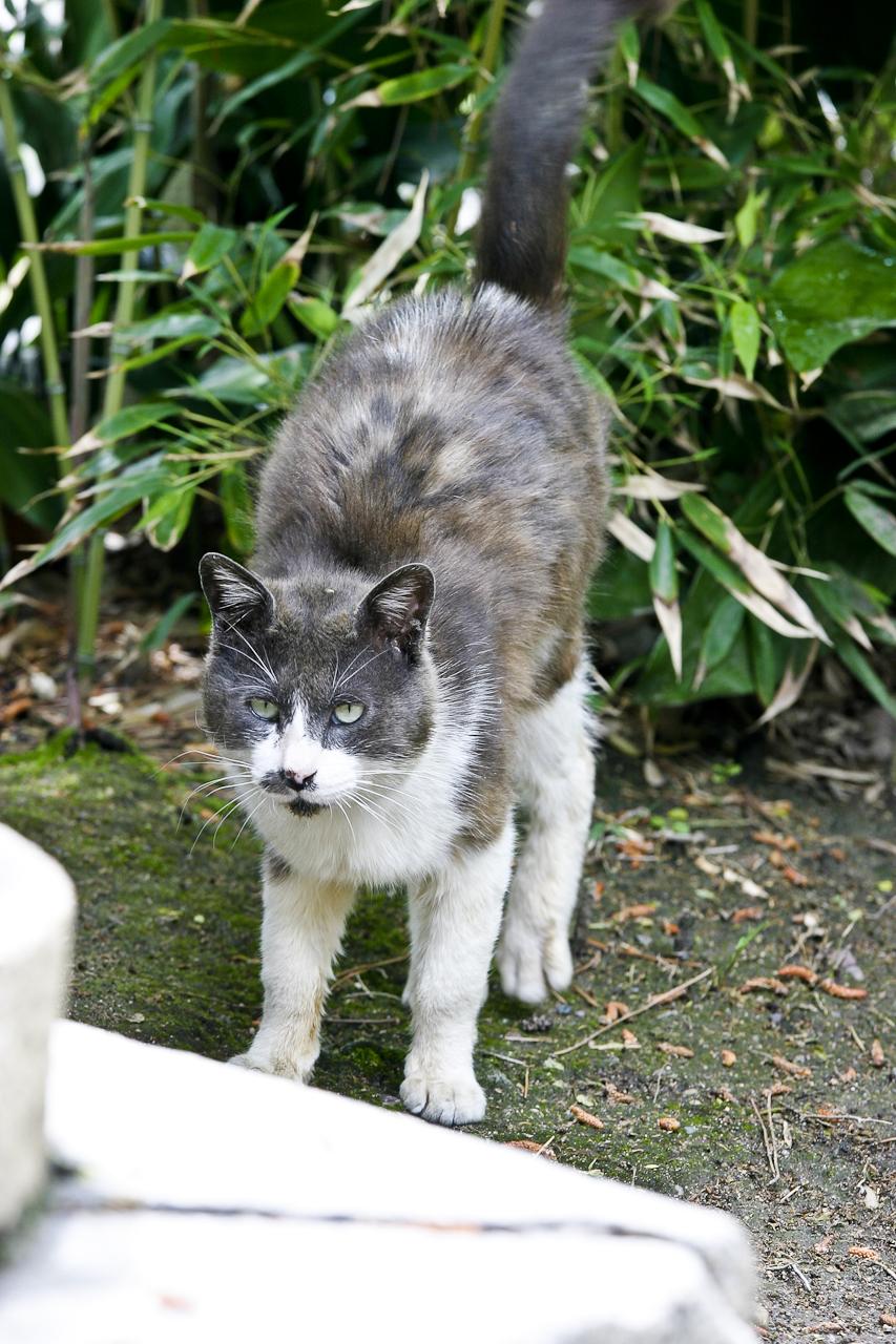 尻尾をピンとして威嚇する猫