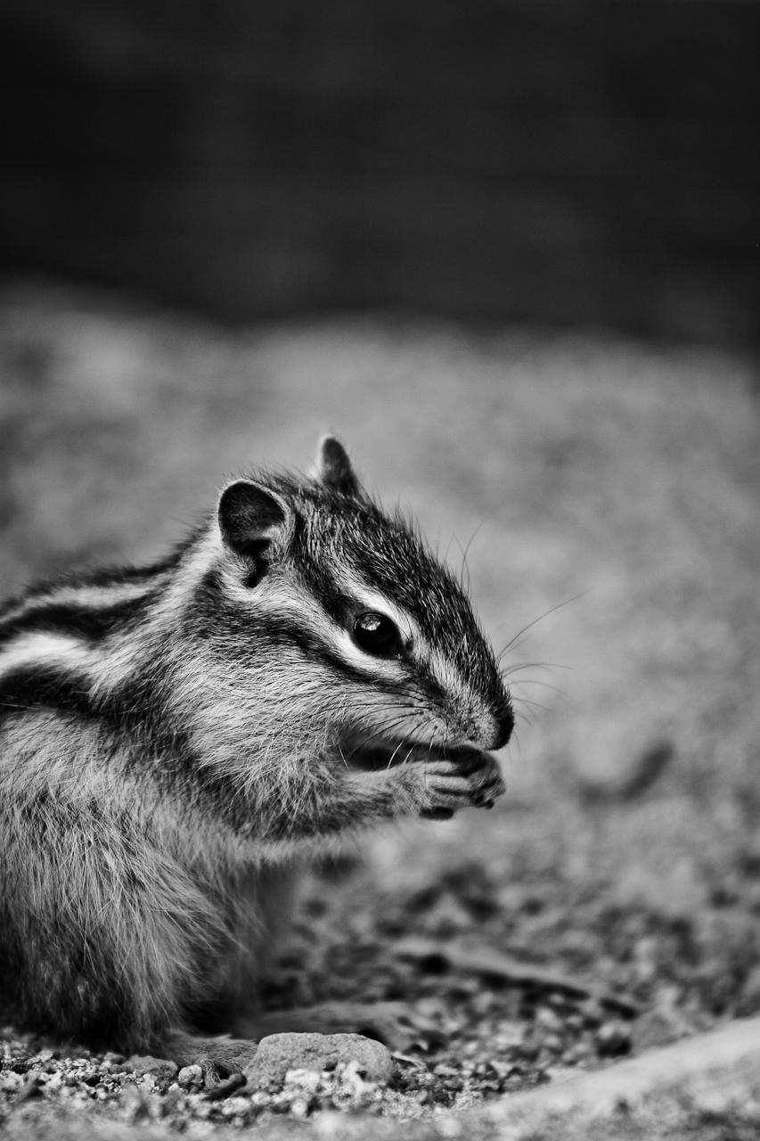 Sokuup 動物 哺乳類 栗鼠 リス シマリス モノクロ 白黒 Permalink