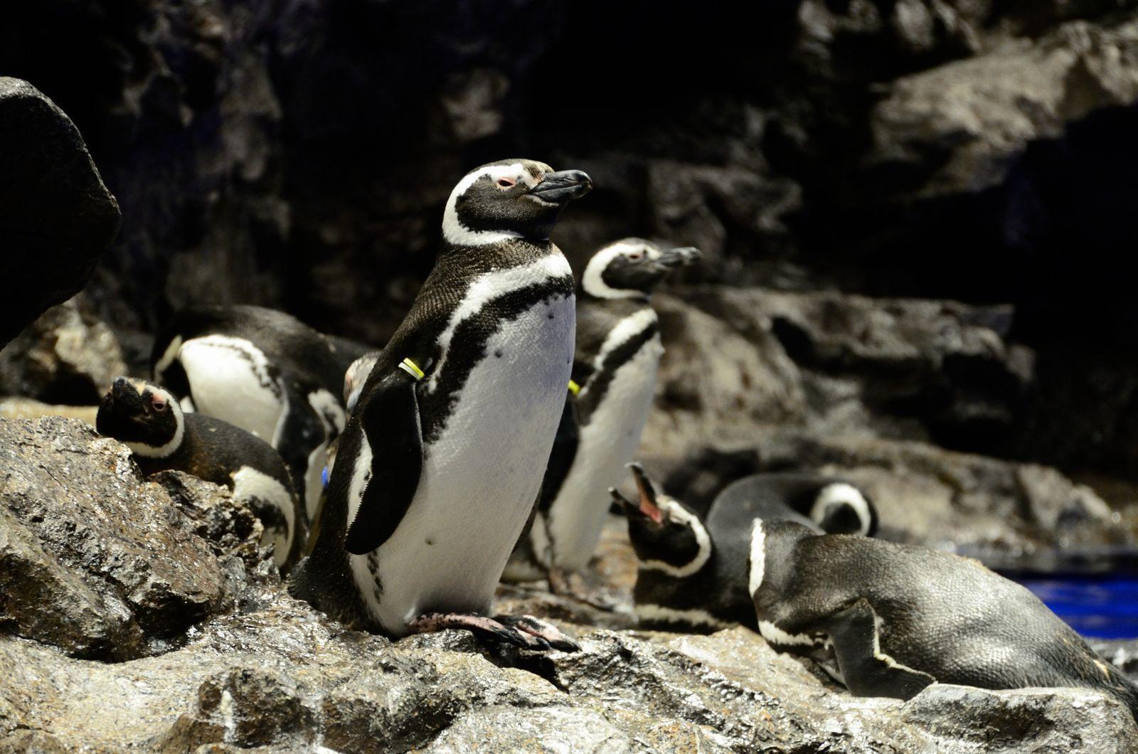 水族館のひなたぼっこするペンギン