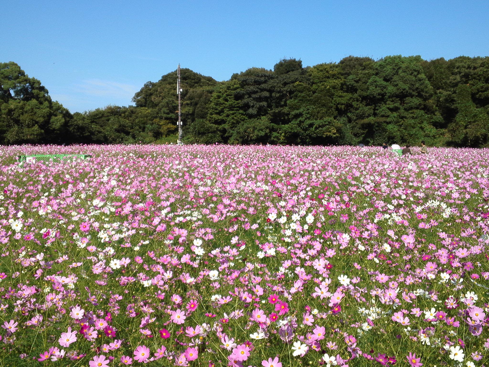 コスモスが綺麗で美しい花畑