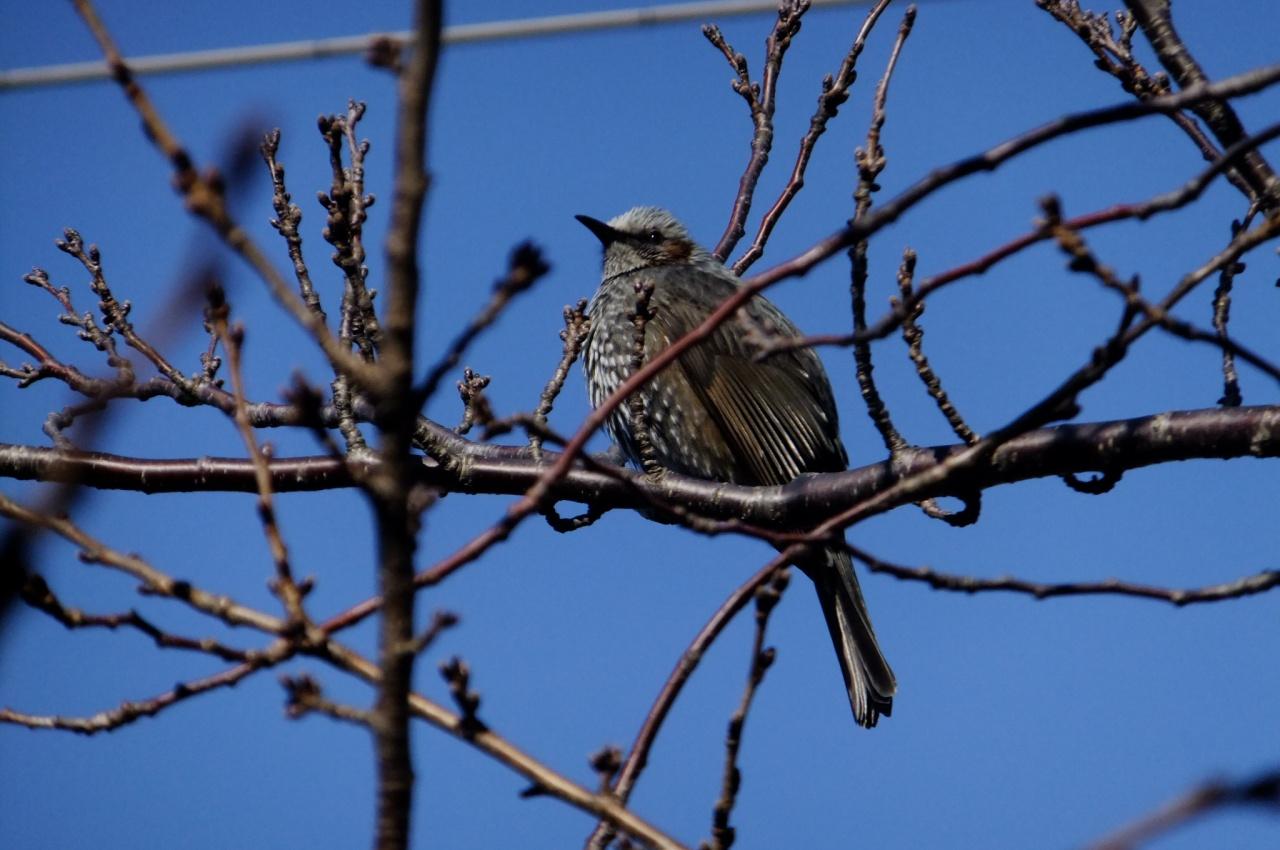 SokuUp :: 動物 野鳥 ヒヨドリ科...