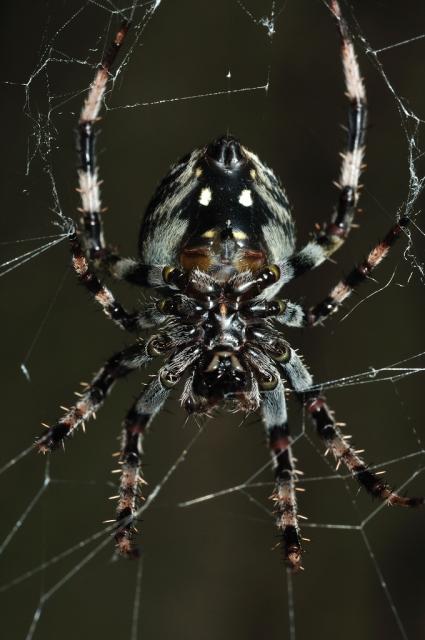 soku_01054.jpg :: 虫 クモ 蜘蛛 オニグモ類