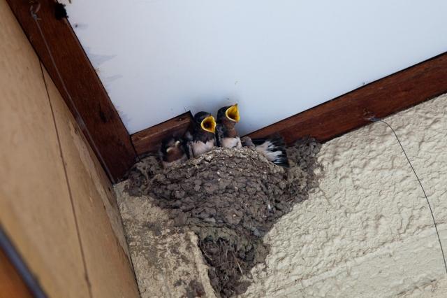 soku_01893.jpg :: 動物 鳥類 ツバメ 燕 巣