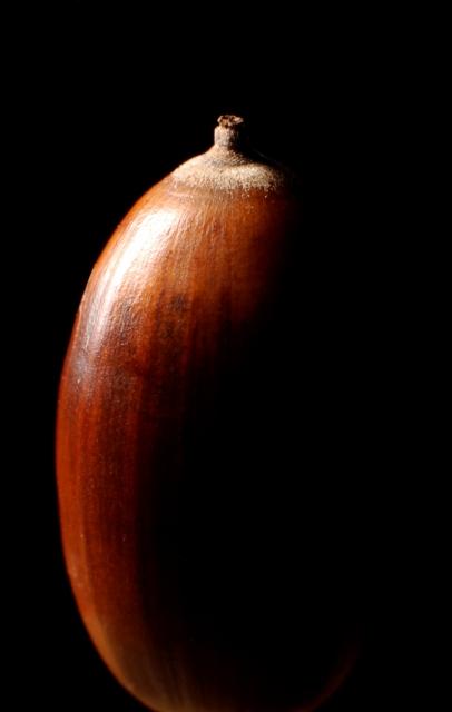 soku_08057.jpg :: どんぐり 木の実 ブナ目ブナ科コナラ属のシラカシ 秋 冬