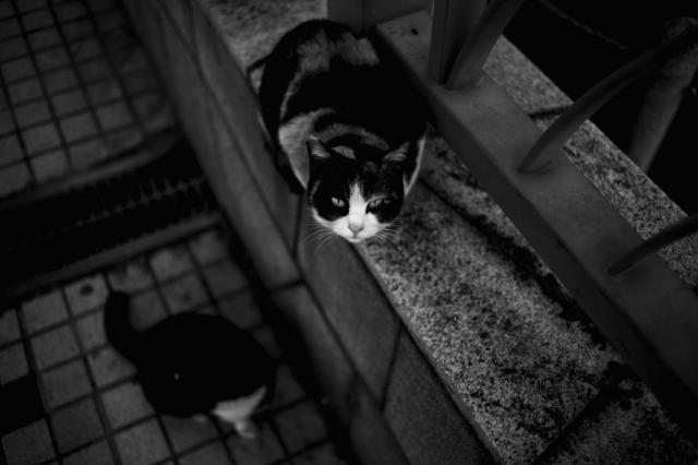 soku_10138.jpg :: 動物 哺乳類 猫 ネコ モノクロ