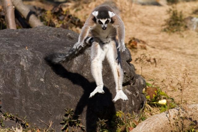 soku_10294.jpg :: 動物 ワオキツネザル のいち動物公園