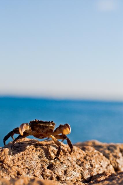soku_10329.jpg :: 動物 海の生物 カニ