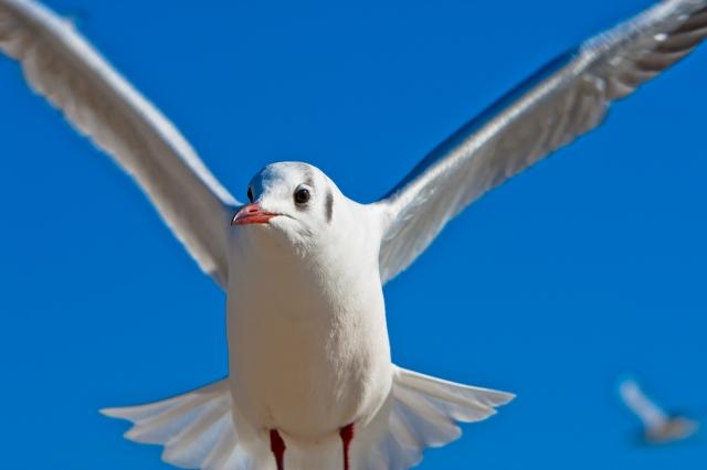 soku_10331.jpg :: 動物 鳥 鷗 カモメ ウミネコ