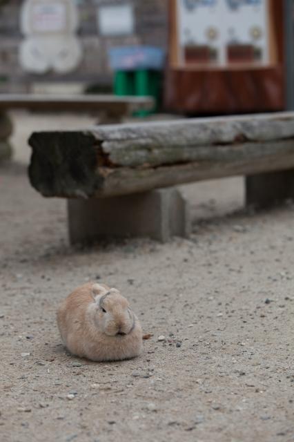 soku_24168.jpg :: 動物 哺乳類 兎 ウサギ