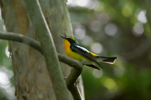 soku_32569.jpg :: 動物 鳥 野鳥 自然の鳥 キビタキ