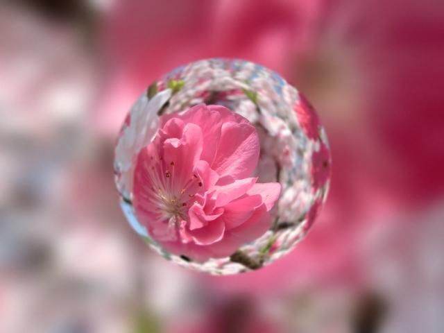 soku_32605.jpg :: 花桃 風景 植物 花 水 水滴