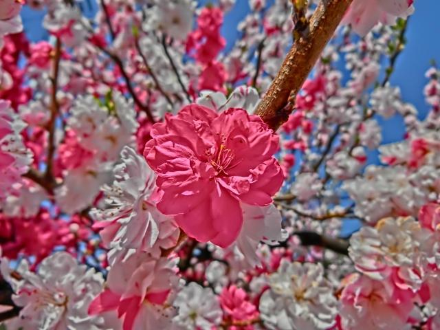 soku_32608.jpg :: 花桃 風景 植物 花