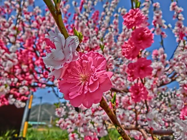 soku_32609.jpg :: 花桃 風景 植物 花