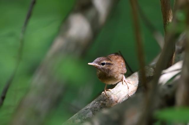 soku_34078.jpg :: 動物 鳥 野鳥 自然の鳥 ヤブサメ幼鳥