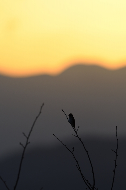 soku_34598.jpg :: 動物 鳥 野鳥 自然の鳥 エゾビタキ