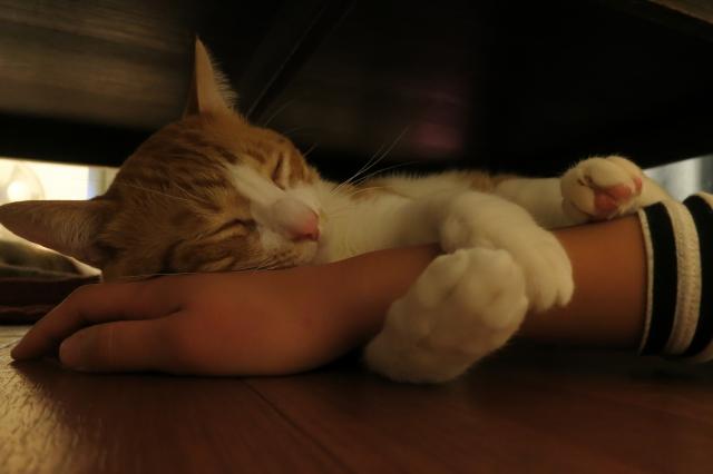 soku_34658.jpg :: 動物 哺乳類 猫 ネコ ロミー リーダー猫 爆睡 人物 ボディパーツ 手 指
