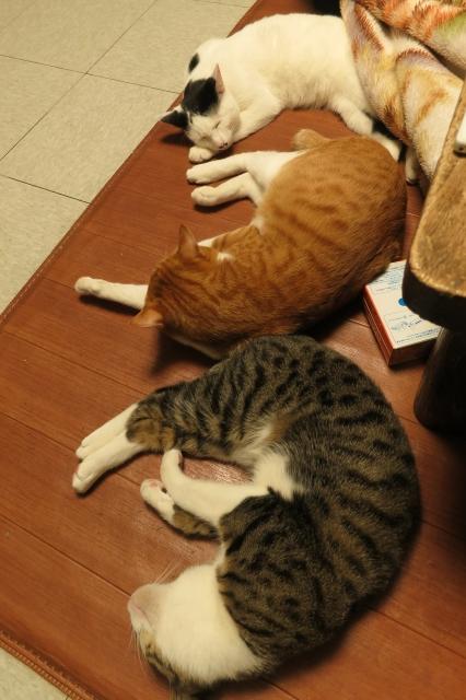 soku_34661.jpg :: 動物 哺乳類 猫 ネコ 上から エナリ ロミ モコ 爆睡 温かいカーペット