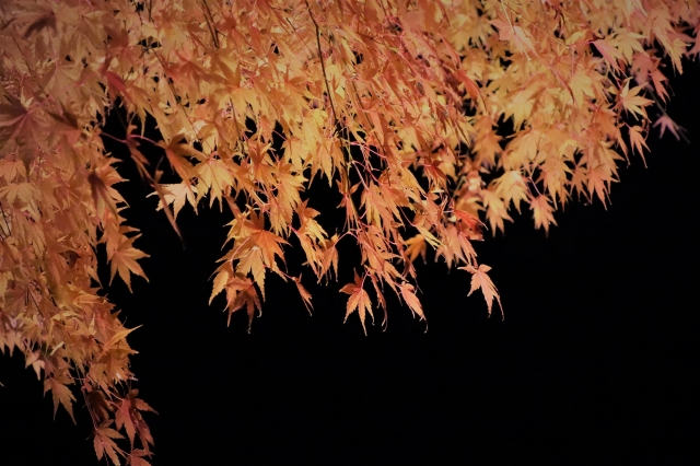 soku_34743.jpg :: 風景 自然 紅葉 寺社の紅葉 長谷寺 ライトアップ