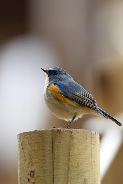 soku_34769.jpg :: 動物 鳥 野鳥 自然の鳥 ルリビタキ