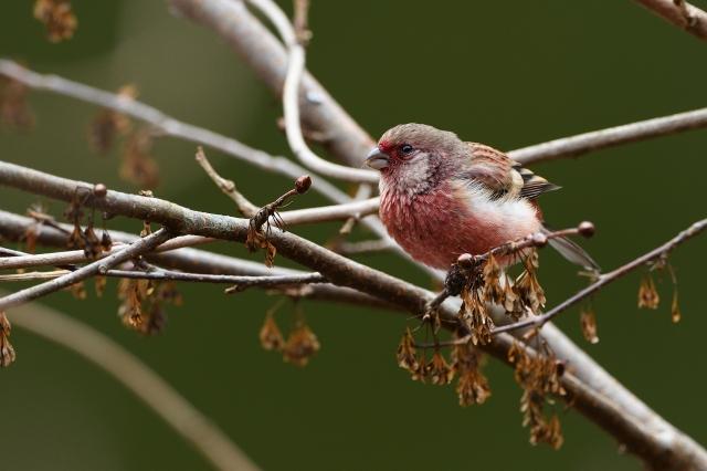 soku_34770.jpg :: 動物 鳥 野鳥 自然の鳥 ベニマシコ