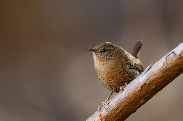 soku_34777.jpg :: 動物 鳥 野鳥 自然の鳥 ミソサザイ