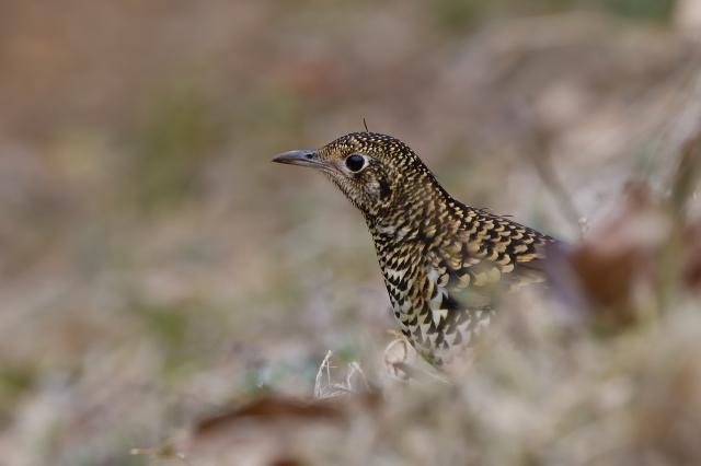 soku_34784.jpg :: 動物 鳥 野鳥 自然の鳥 トラツグミ