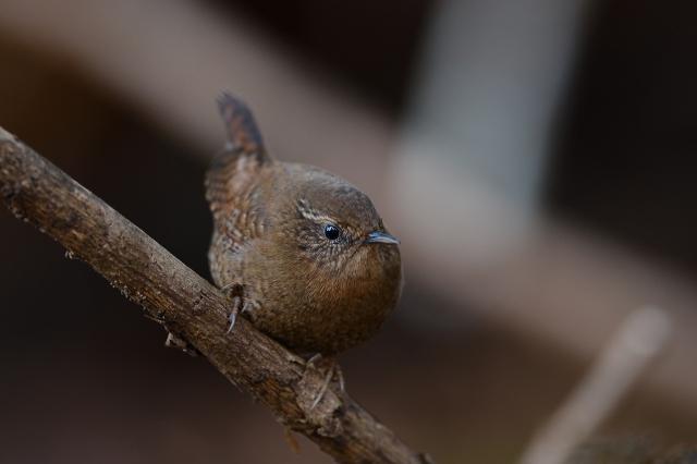 soku_34785.jpg :: 動物 鳥 野鳥 自然の鳥 ミソサザイ