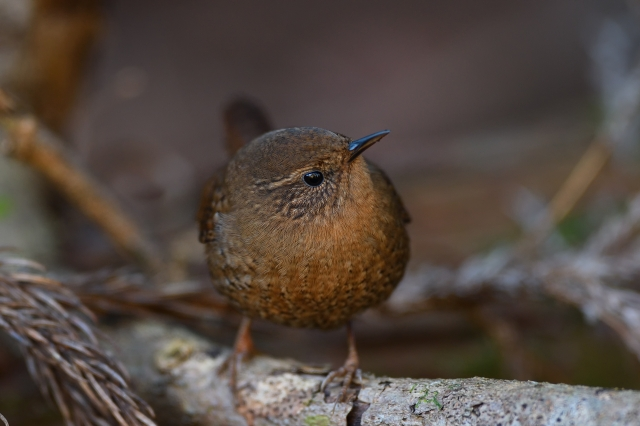 soku_34807.jpg :: 動物 鳥 野鳥 自然の鳥 ミソサザイ