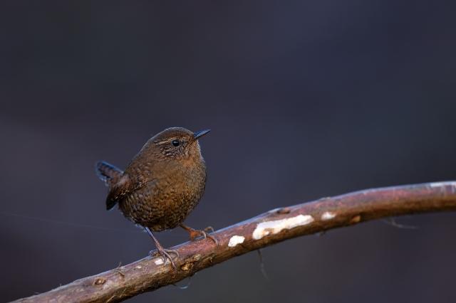 soku_34808.jpg :: 動物 鳥 野鳥 自然の鳥 ミソサザイ