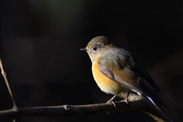 soku_34809.jpg :: 動物 鳥 野鳥 自然の鳥 ルリビタキ