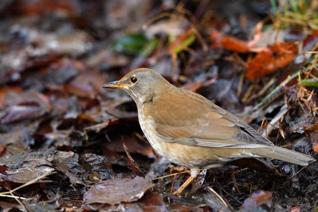 soku_34824.jpg :: 動物 鳥 野鳥 自然の鳥 シロハラ