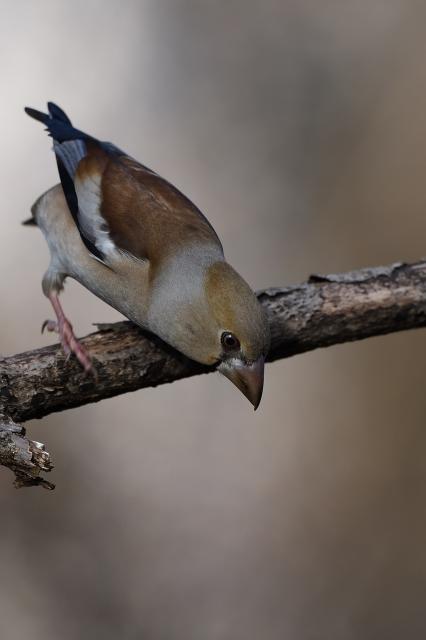 soku_34830.jpg :: 動物 鳥 野鳥 自然の鳥 シメ
