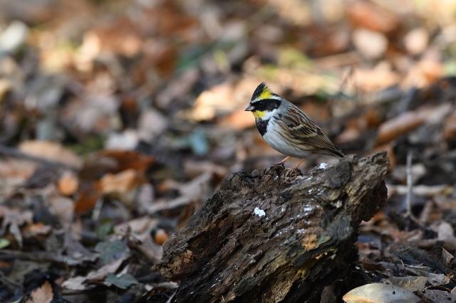 soku_34831.jpg :: 動物 鳥 野鳥 自然の鳥 ミヤマホオジロ