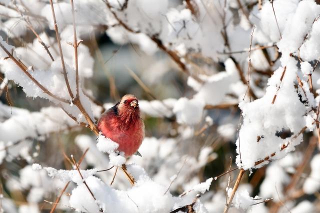 soku_34848.jpg :: 動物 鳥 野鳥 自然の鳥 ベニマシコ