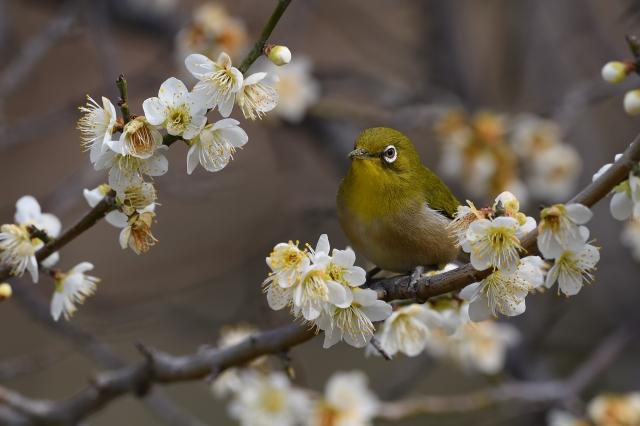 soku_34858.jpg :: 動物 鳥 野鳥 自然の鳥 メジロ