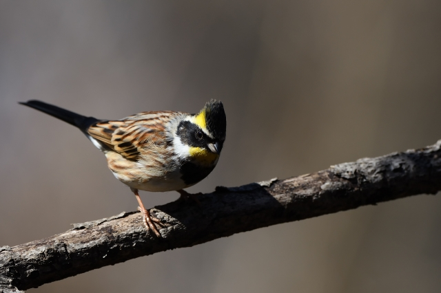 soku_34859.jpg :: 動物 鳥 野鳥 自然の鳥 ミヤマホオジロ