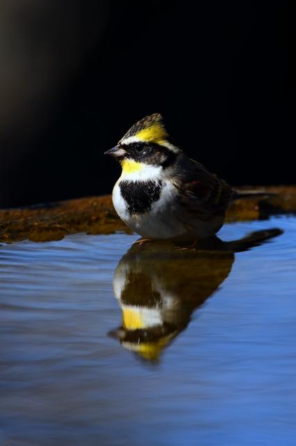 soku_34865.jpg :: 動物 鳥 野鳥 自然の鳥 ミヤマホオジロ 風景 自然 水面 水鏡