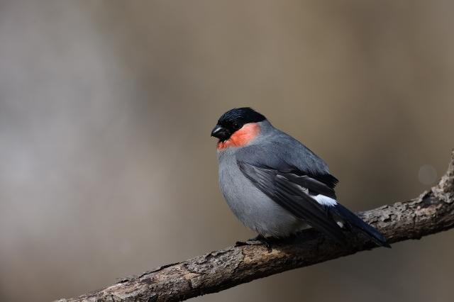 soku_34869.jpg :: 動物 鳥 野鳥 自然の鳥 ウソ