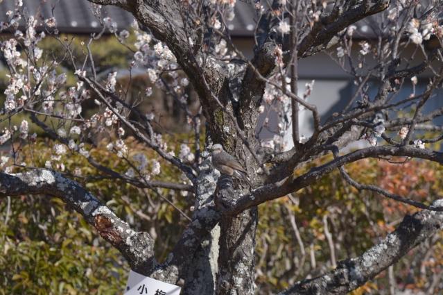 soku_34876.jpg :: 植物 花 桜 サクラ つぼみ