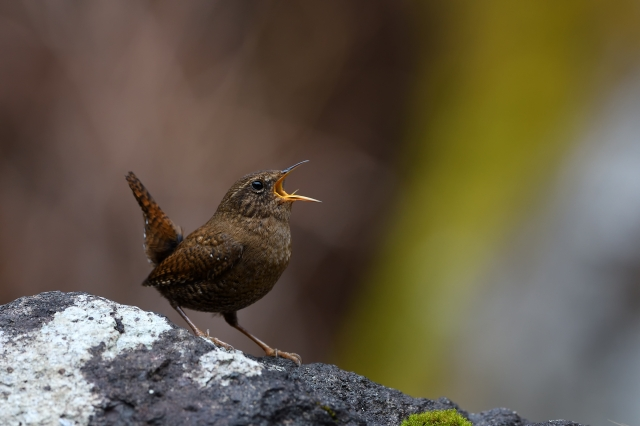 soku_34898.jpg :: 動物 鳥 野鳥 自然の鳥 ミソサザイ