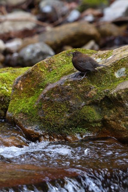 soku_34917.jpg :: 動物 鳥 野鳥 自然の鳥 カワガラス