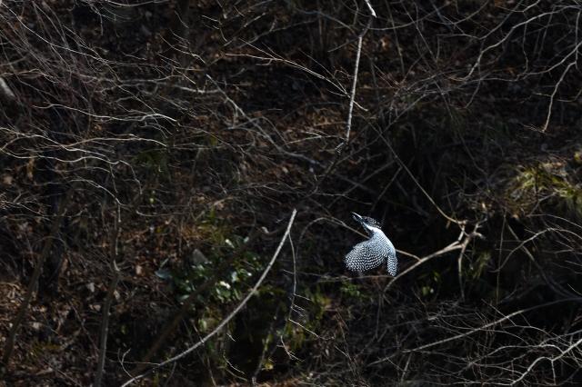 soku_34936.jpg :: 動物 鳥 野鳥 自然の鳥 ヤマセミ