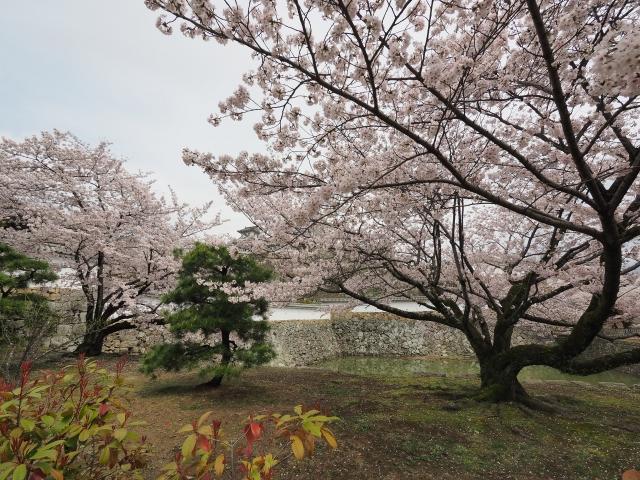 soku_34953.jpg :: 植物 花 桜 サクラ 満開