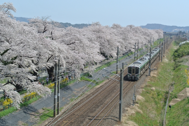 soku_34957.jpg :: 宮城県 一目千本桜 植物 花 桜 サクラ 満開 乗り物 交通 鉄道 電車