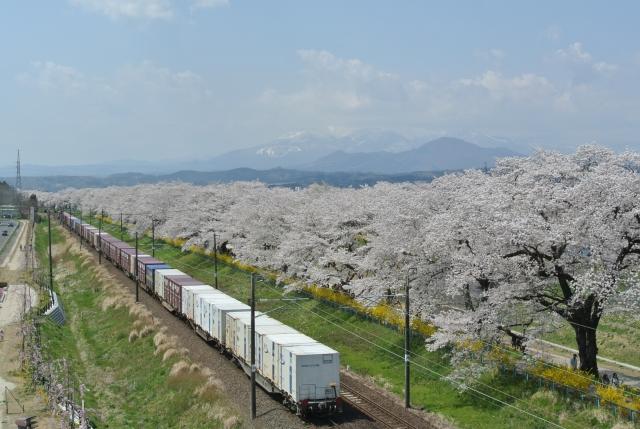 soku_34958.jpg :: 宮城県 一目千本桜 植物 花 桜 サクラ 満開 乗り物 交通 鉄道 貨物列車