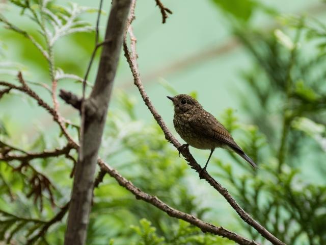 soku_35129.jpg :: 動物 鳥 野鳥 自然の鳥 ルリビタキ