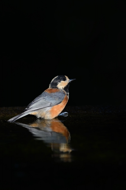 soku_35149.jpg :: 動物 鳥 野鳥 自然の鳥 ヤマガラ