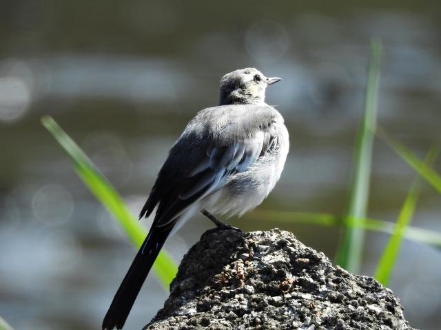 soku_35202.jpg :: 小鳥 ハクセキレイ