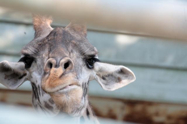 soku_35250.jpg :: 熊本市動植物園 動物 哺乳類 キリン