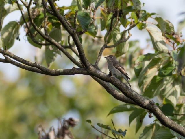 soku_35262.jpg :: 動物 鳥 野鳥 自然の鳥 コサメビタキ